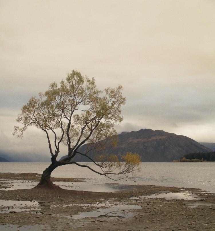 wanaka tree 01