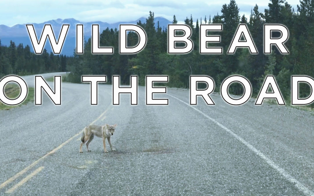 Bear on the Roadside